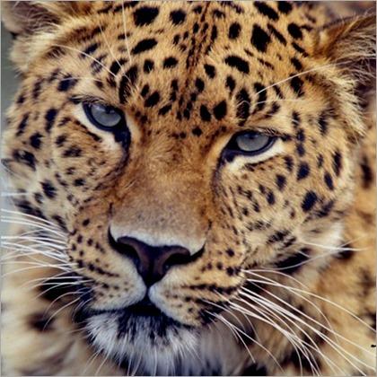 leopardo_de_amur-e1349477026644