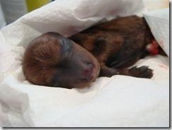 herpesvirus cucciolo (2)