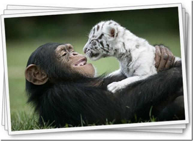 9 Hewan Berbeda Jenis yang Menjadi Sahabat Sejati_simpanse-dan-kucing-besar