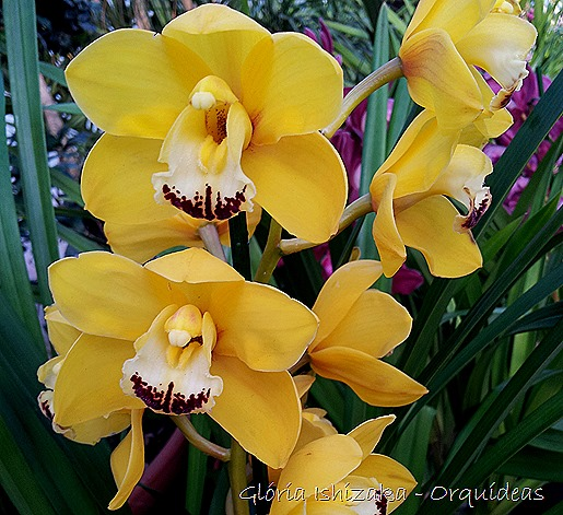 Glória Ishizaka - orquideas 34