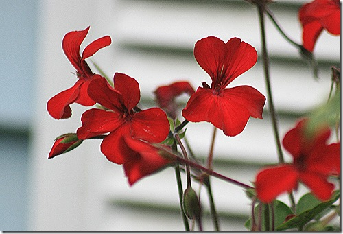 Geranium_Pelargonium_Caliente_Fire