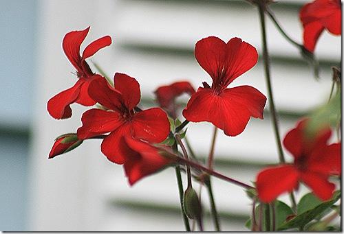 Geranium_Pelargonium_Caliente_Fire