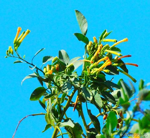 15. tabacco blossoms-kab