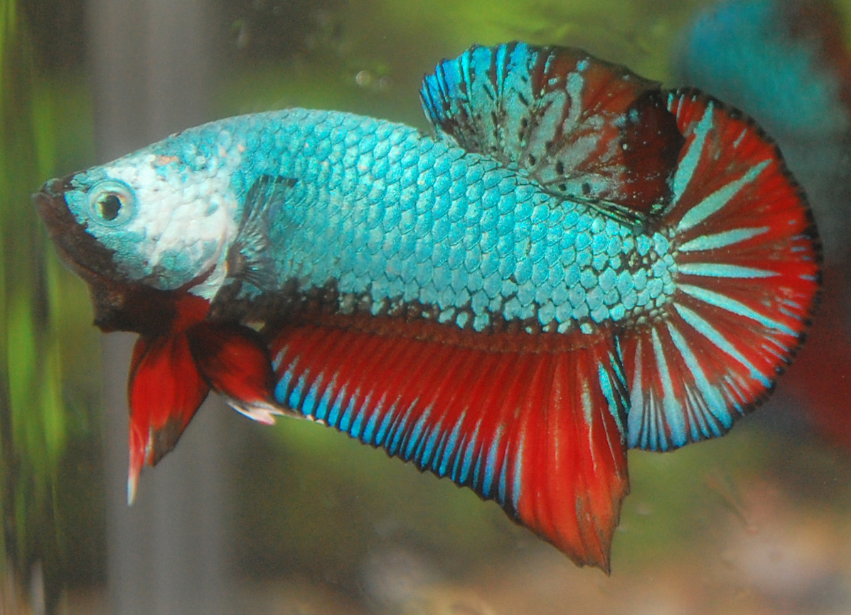 Pin gallery for salve seu power point mineira sem freio on for Betta fish for sale