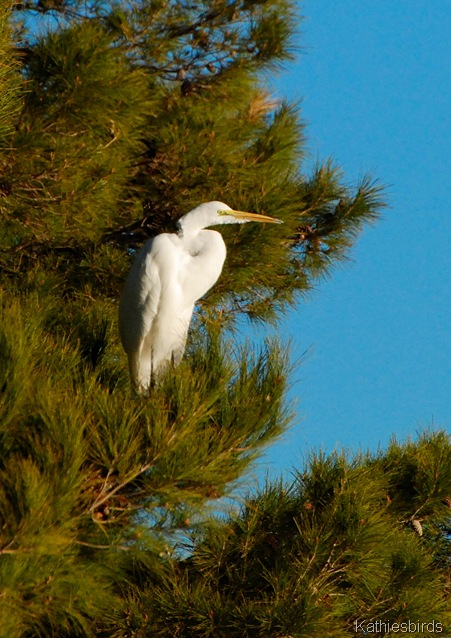 5. great egret-kab