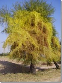 450px-Cuscuta_parasite_plant