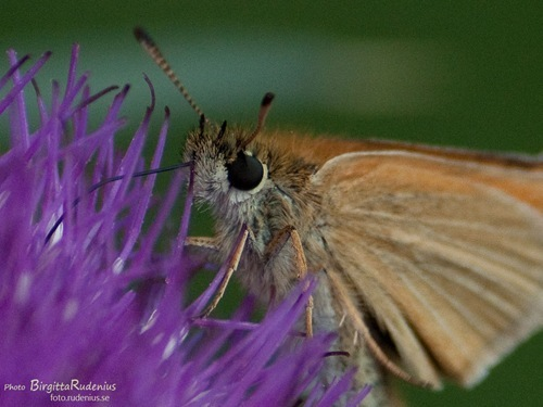 butterfly_20110716_brown1a