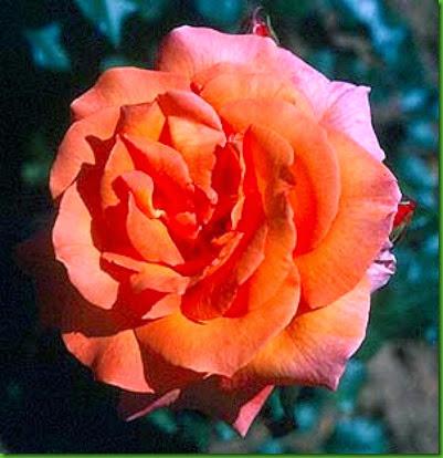 Rosa Doris Tysterman  1