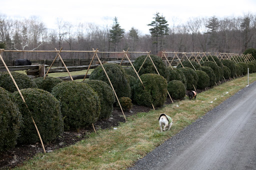 Hey Sharkey, look at this long row of boxwood that needs to be covered.  Maybe we should help!