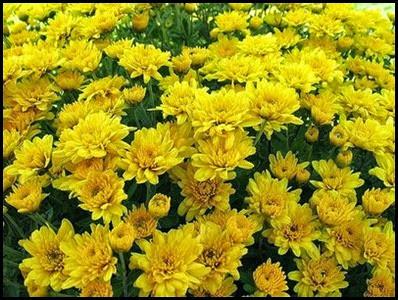 Chrysanthemums4a