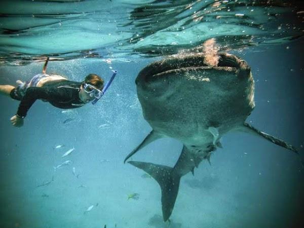 Whale Shark Tom Slder.jpg