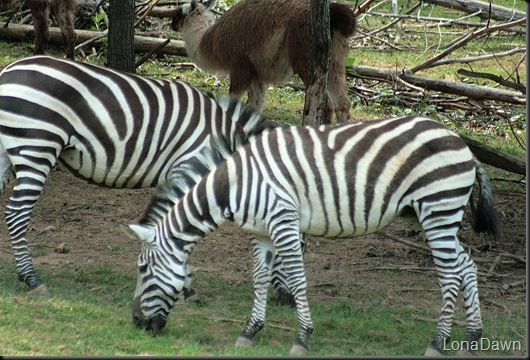 Safari_Zebra_Grants2