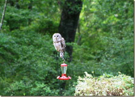 owl on hb feeder