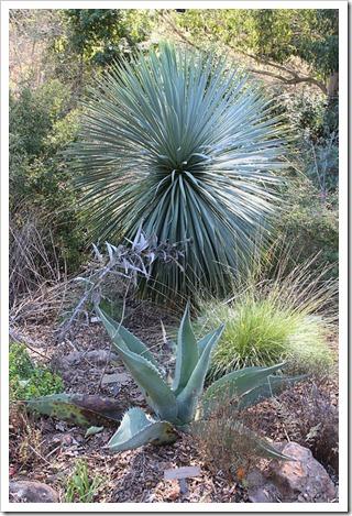 120128_UCBG_Yucca-rostrata- -Agave-scabra_03