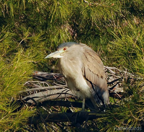 9. BC night heron-kab