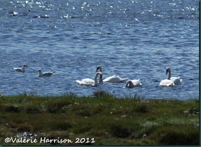 14-swans-and-gulls
