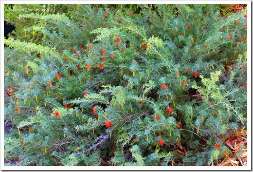 131124_UCD_Arboretum_AustralianCollection_Hakea-leucoptera_05