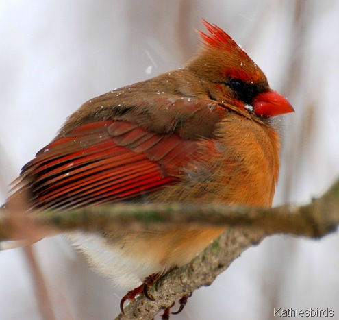 1. Female cardinal-kab