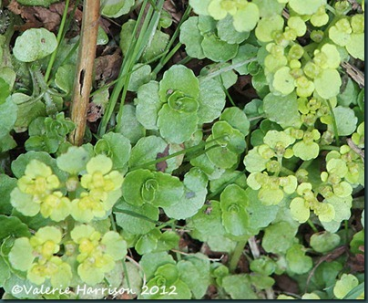 3-oposite-leaved-golden-saxifrage