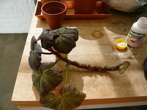 I took long cuttings off the begonia to have plenty work with and to get the begonia back into a manageable size. I like fancy leaf begonias because they will drape over pots, but they do need a shear now and then.