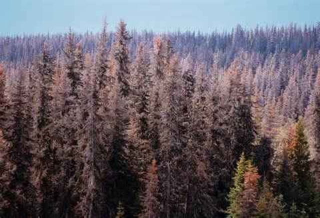 Kenai Forest, Alaska, 2001. As a native species, pine beetle outbreaks have occurred in the past. Recent outbreaks, however, have been the worst in recorded history. Photo: Gary Braasch / World View of Global Warming