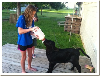 feedling calf j and s