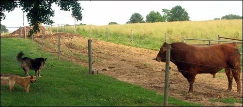 Kodi and the bull
