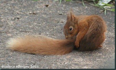 red-squirrel-tiny-2