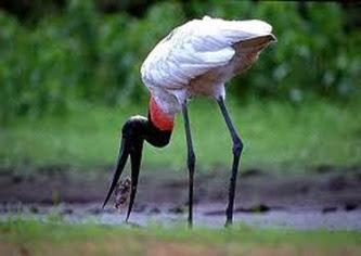 Amazing Pictures of Animals, Photo, Nature, Incredibel, Funny, Zoo, Jabiru mycteria, Bird, Aves, Alex (5)