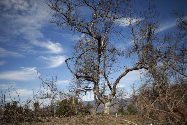 An avocado grove has seen better days as California's record drought takes its toll. Photo: America's Markets