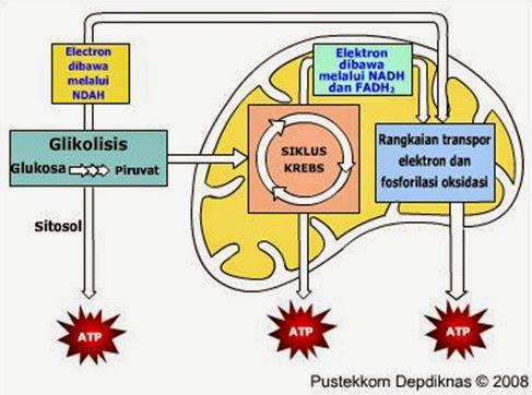 3 Bioproses Pencernaan Karbohidrat