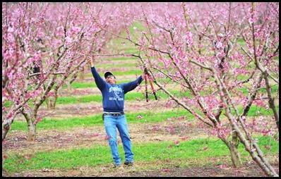 peach tree3