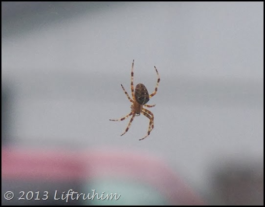 A close up a spider but can't see the web.