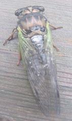 cicada bug2