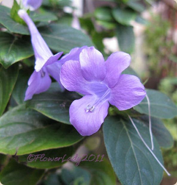 10-03-phillipine-violet