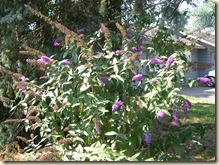 Buddleia bush