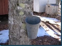 maple syrup harvesting