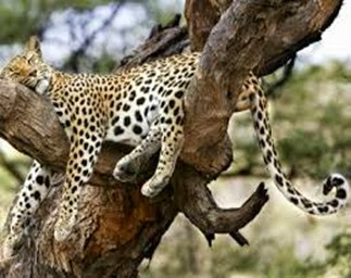 Amazing Pictures of Animals, Photo, Nature, Incredibel, Funny, Zoo, Leopard,Panthera pardus, Mammals, Carnivora, Alex (7)