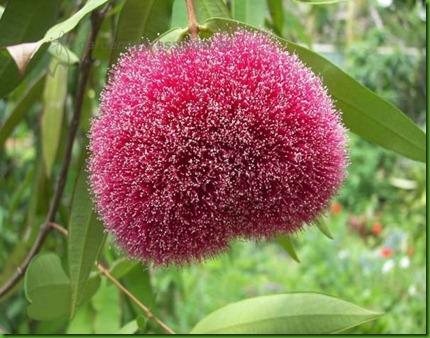 Syzygium wilsonii1