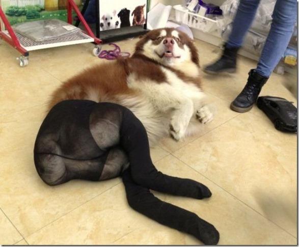 dogs-pantyhose-5