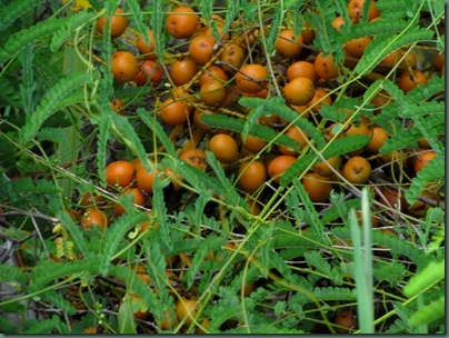 Palmetto berries