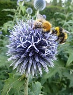 bees on echinops2
