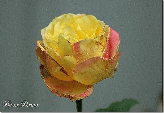 Rose_RomaBella2