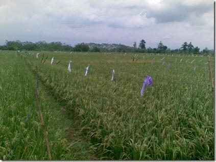 mengendalikan-hama-burung-tanaman-padi