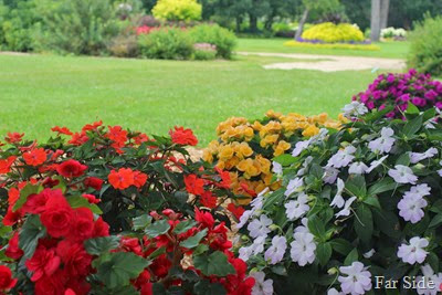 Begonias and New Guinea Impatiens