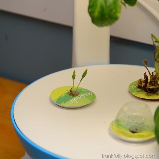 big ol' cilantro sprout