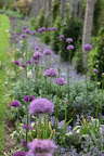 And then there's the allium border along the pergola.  How gorgeous is that?