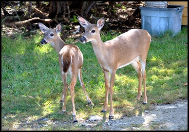 03j - Wildlife - Miniature Doe and Fawn on Big Pine Key