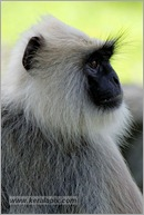 _P6A2128_grey_langur_monkey_mudumalai_bandipur_sanctuary
