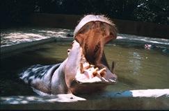 2003.08.26-163-08 hippopotame